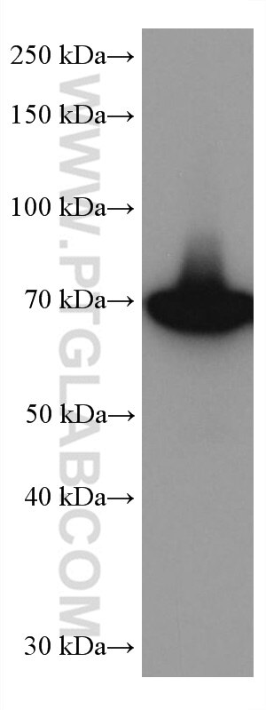 WB analysis of HeLa using 67161-1-Ig
