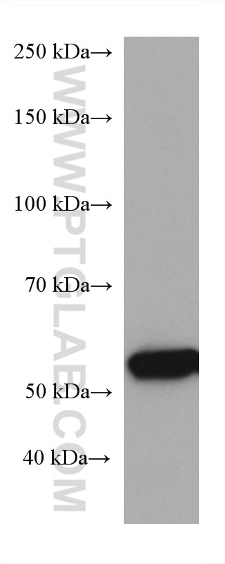 WB analysis of pig liver using 67216-1-Ig