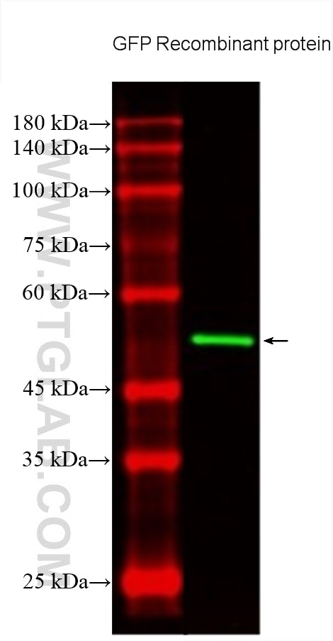 WB analysis using CL488-66002
