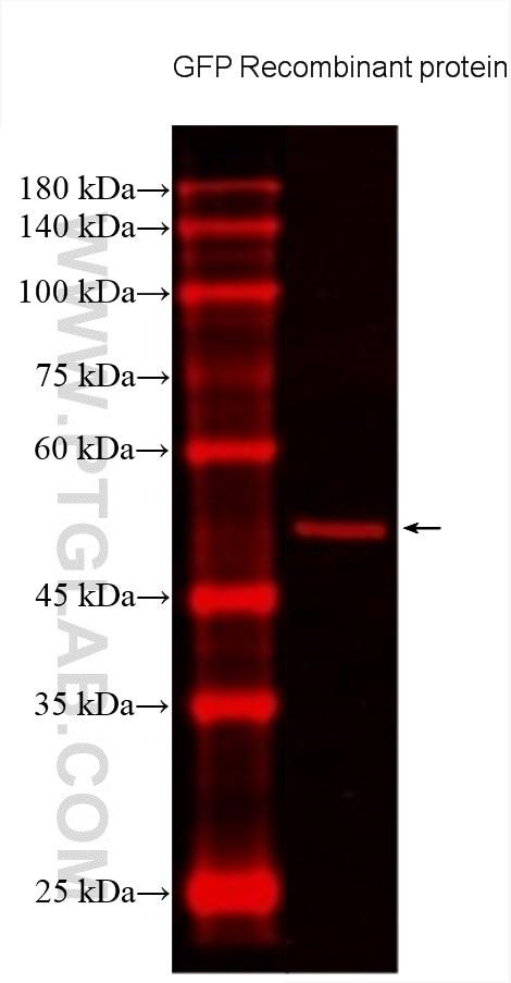 WB analysis using CL594-66002