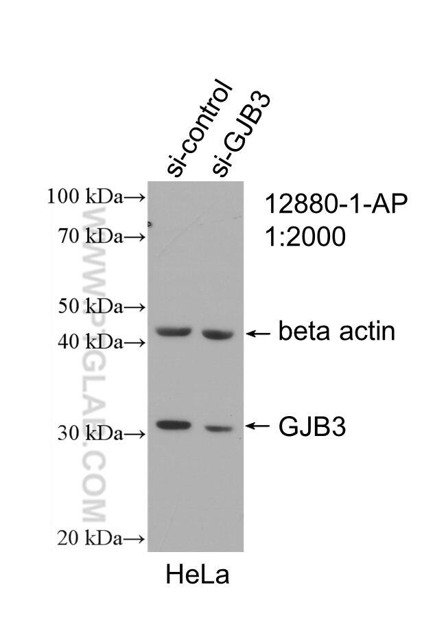 WB analysis of HeLa using 12880-1-AP