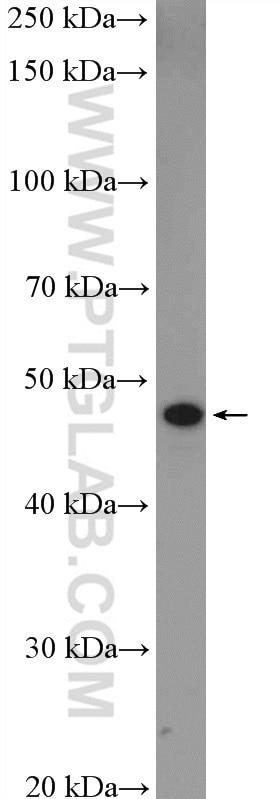 GJC2 Polyclonal antibody