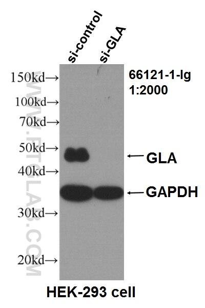 WB analysis of HEK-293 using 66121-1-Ig