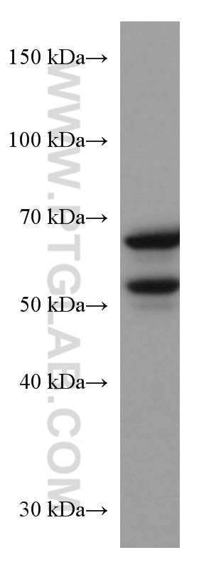 WB analysis of NIH/3T3 using 66265-1-Ig