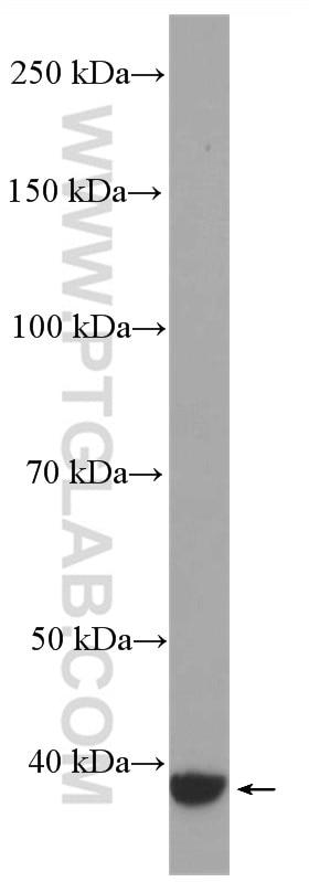WB analysis of PC-12 using 27264-1-AP