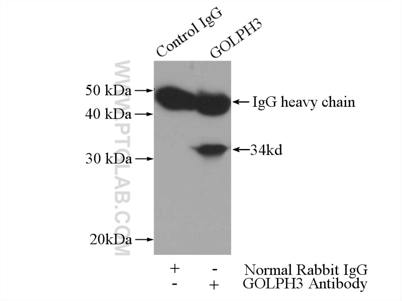 IP experiment of mouse testis using 19112-1-AP
