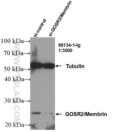 WB analysis of Jurkat using 66134-1-Ig