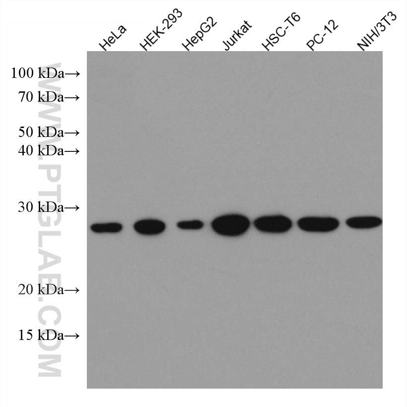 WB analysis using 66880-1-Ig