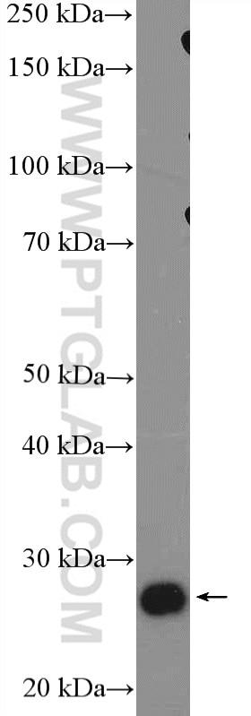 WB analysis of NIH/3T3 using 16106-1-AP