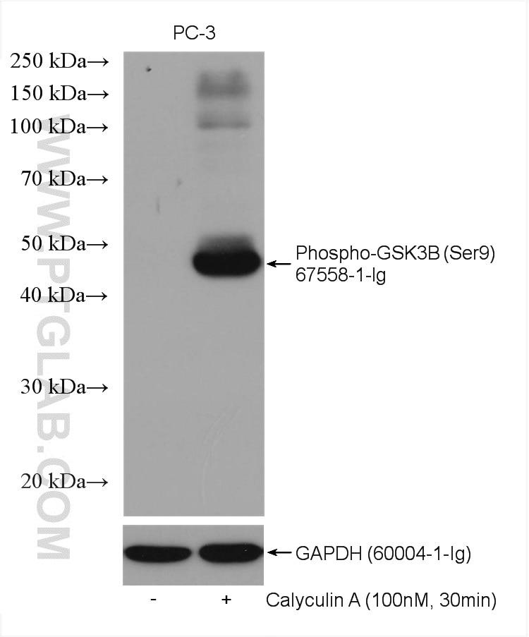 WB analysis using 67558-1-Ig
