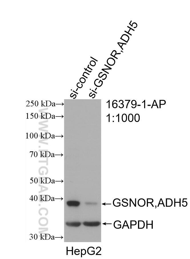 WB analysis of HepG2 using 16379-1-AP