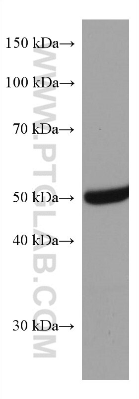WB analysis of rat liver using 67598-1-Ig