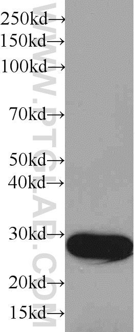 HRP-66001;Recombinant protein