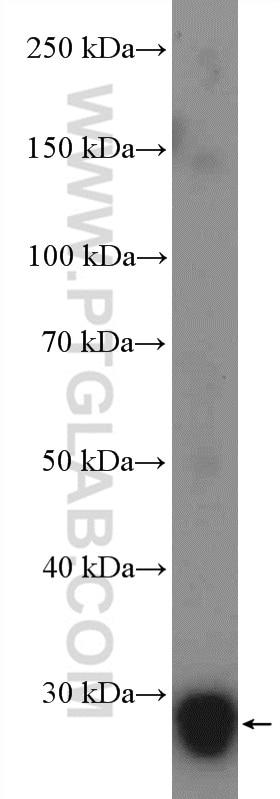 WB analysis of mouse testis using 14562-1-AP