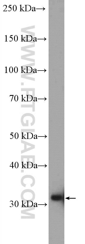 WB analysis of K-562 using 16467-1-AP