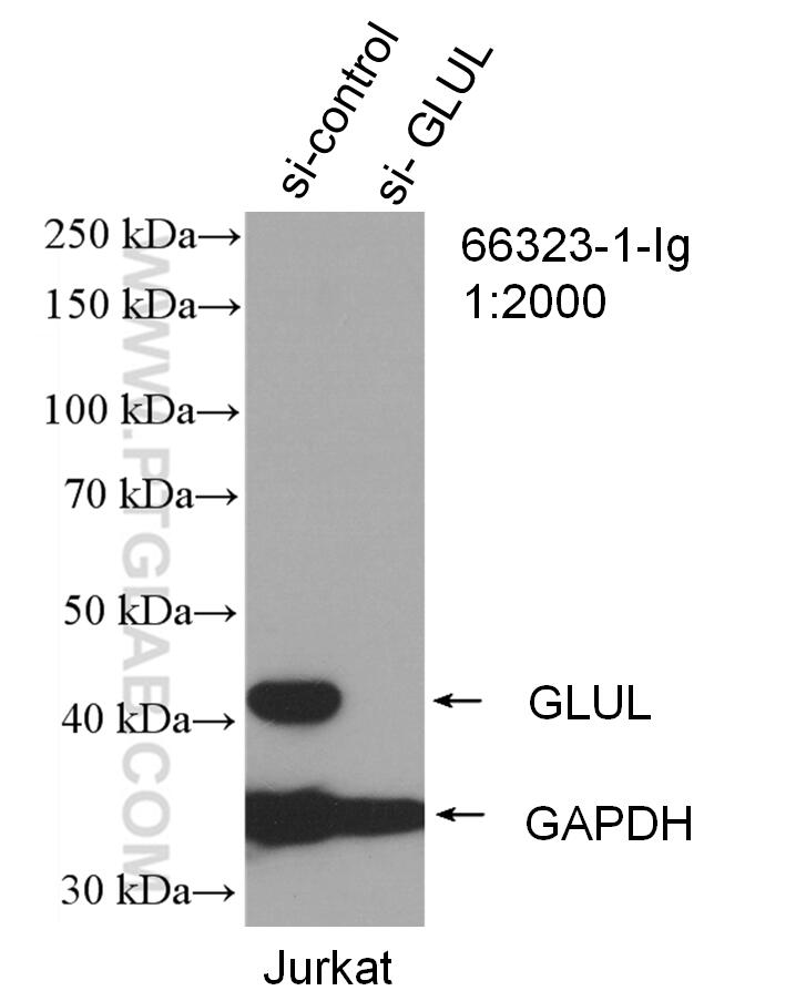 WB analysis of Jurkat using 66323-1-Ig
