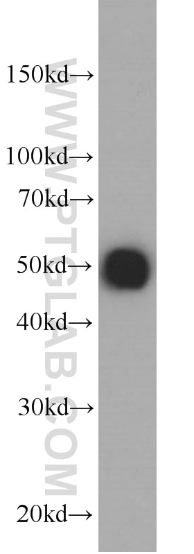 Ha Tag Antibody 66006 1 Ig Proteintech