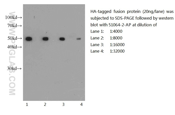 51064-2-AP;recombinant protein protein