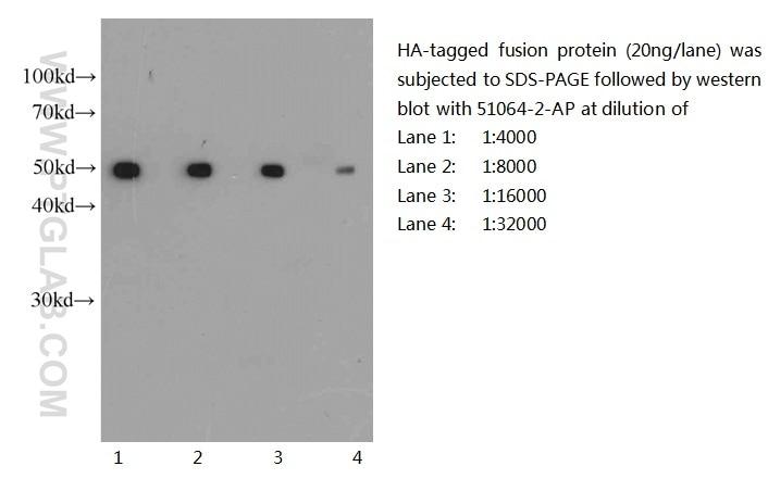 51064-2-AP;recombinant protein