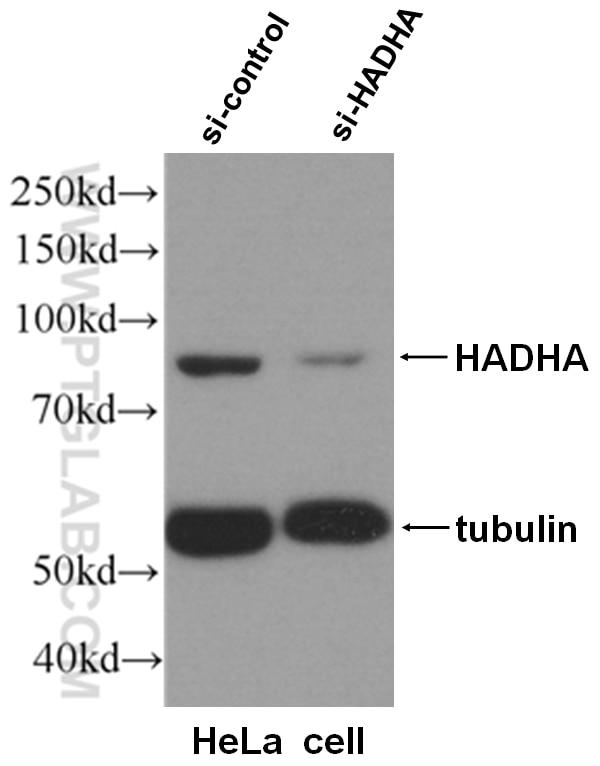 WB analysis of HeLa cells using 10758-1-AP