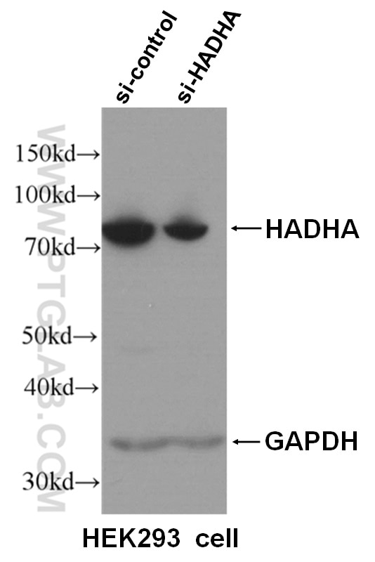 WB analysis of HEK293 cells using 60250-1-Ig
