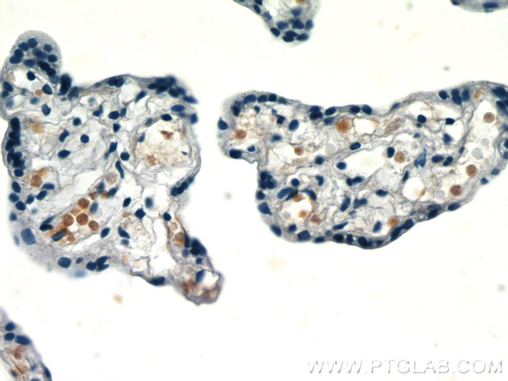 IHC staining of human placenta using 66168-1-Ig