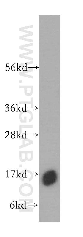 WB analysis of K-562 using 17284-1-AP