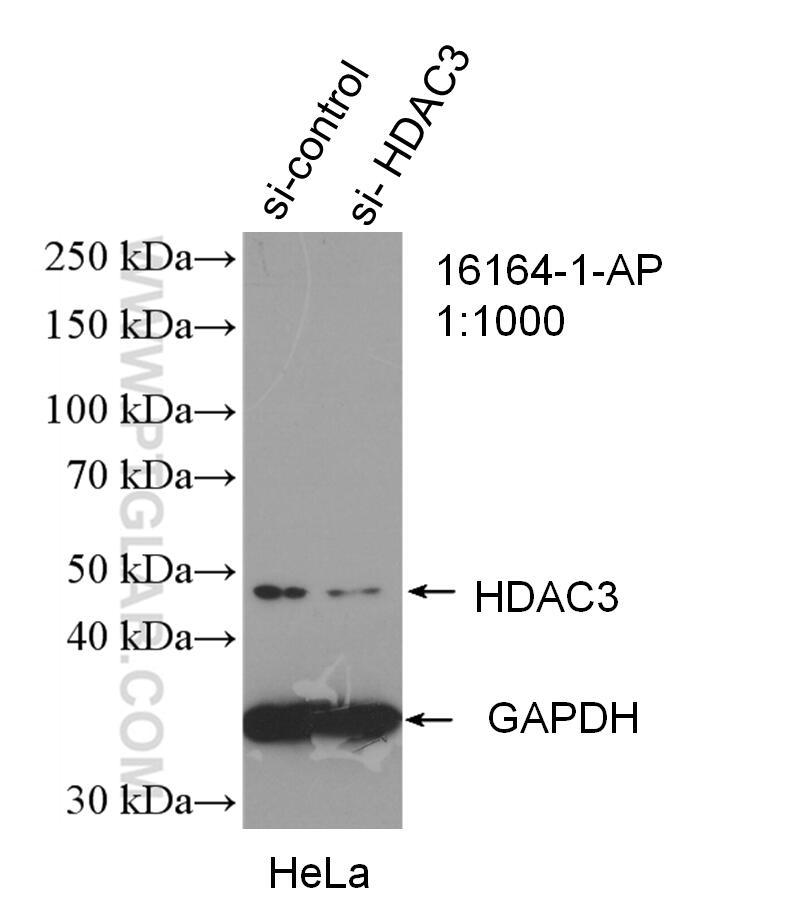 WB analysis of HeLa using 16164-1-AP