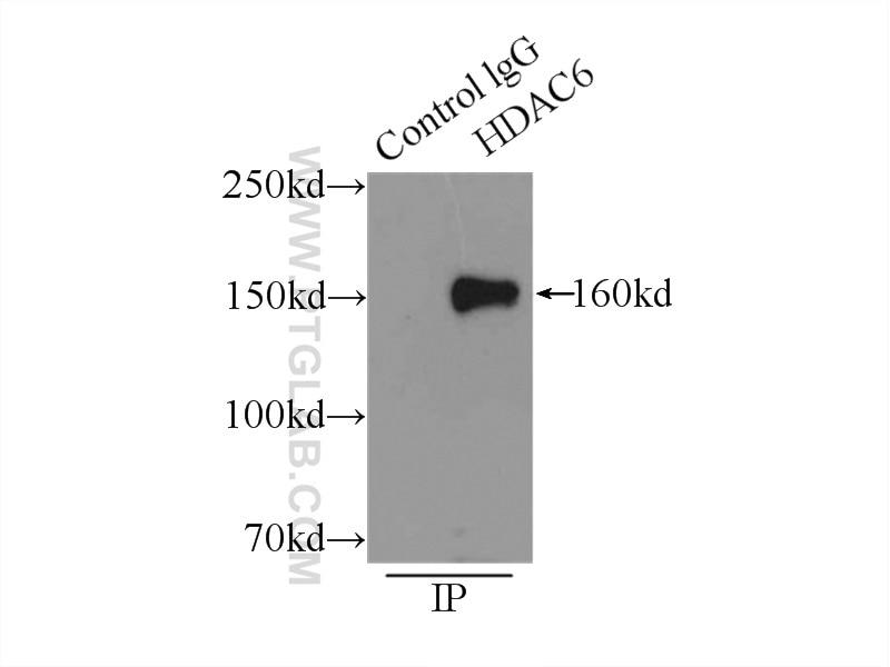 IP experiment of K-562 using 12834-1-AP