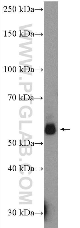 15676-1-AP;rat liver tissue