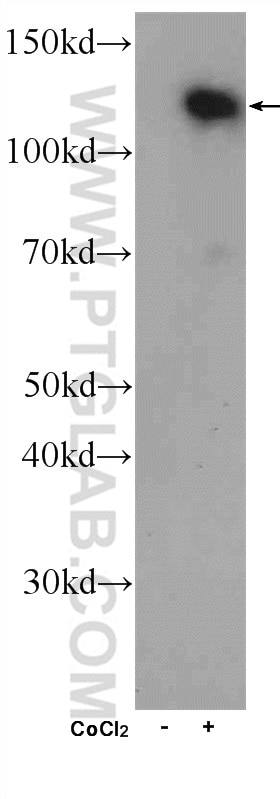 Whole cell lysate from HeLa cells that were either treated with cobalt chloride (+; 500 uM) or mock treated (-) and were subjected to SDS PAGE followed by western blot with HIF1a antibody (20960-1-AP) at a dilution of 1:300