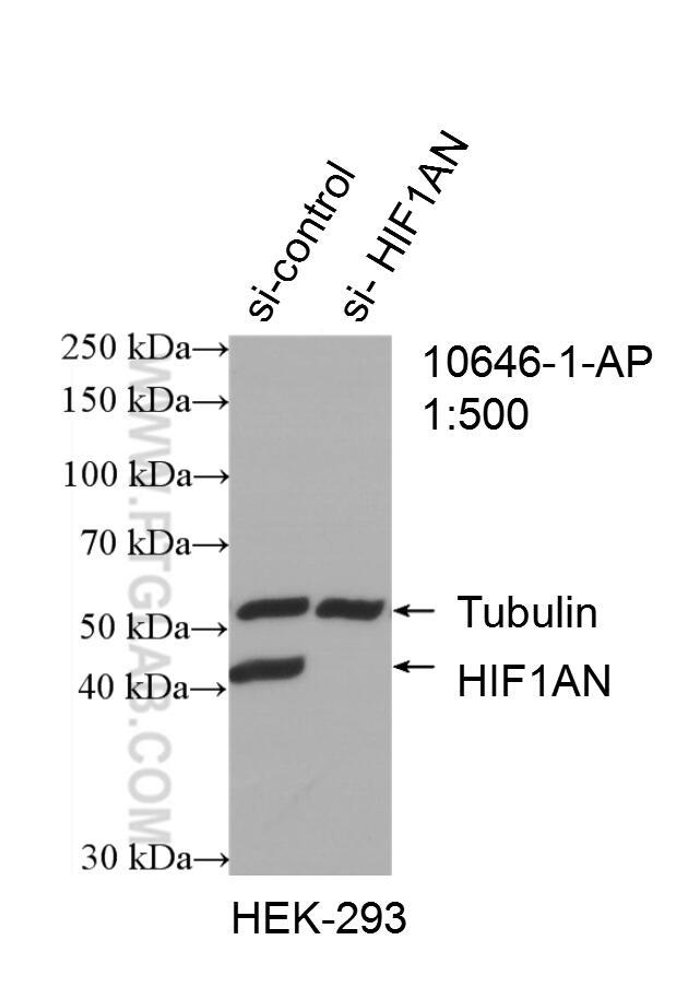 WB analysis of HEK-293 using 10646-1-AP