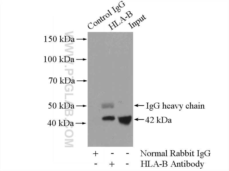 IP experiment of HepG2 using 17260-1-AP