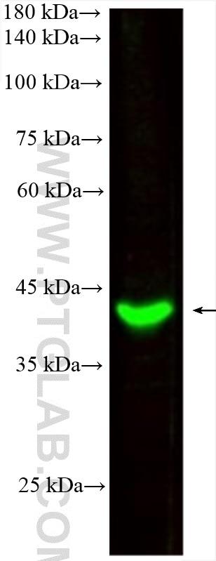 WB analysis of Raji using CL488-66530