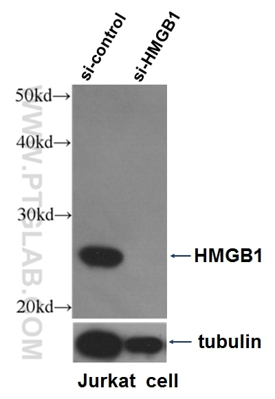 WB analysis of Jurkat cells using 10829-1-AP