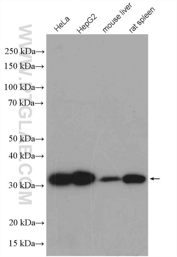 HO-1/HMOX1 Polyclonal antibody