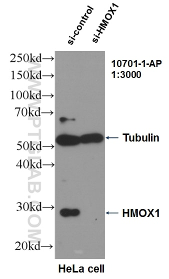 WB analysis of HeLa using 10701-1-AP