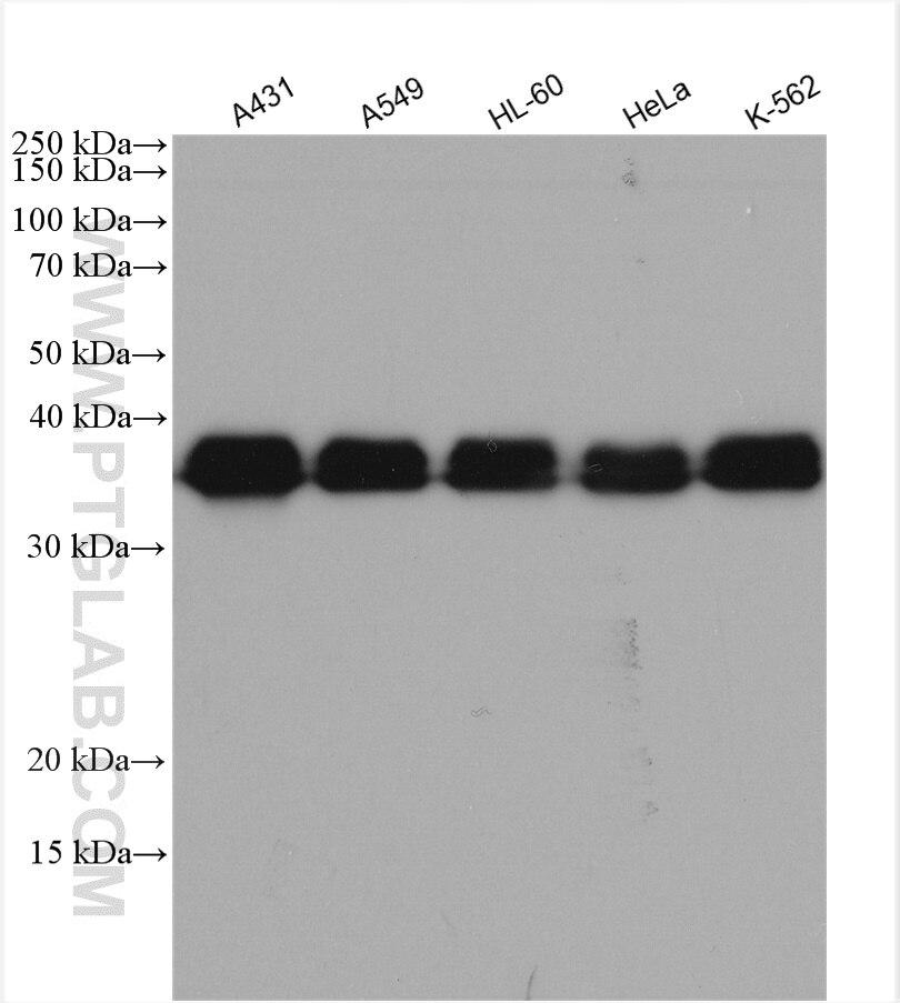 WB analysis using 14813-1-AP