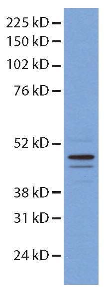 14774-1-AP;mouse embryonic stem cells
