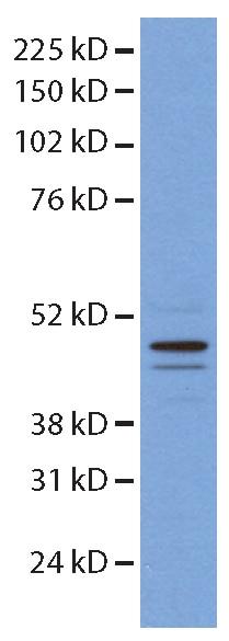 14774-1-AP;mouse embryonic stem cells