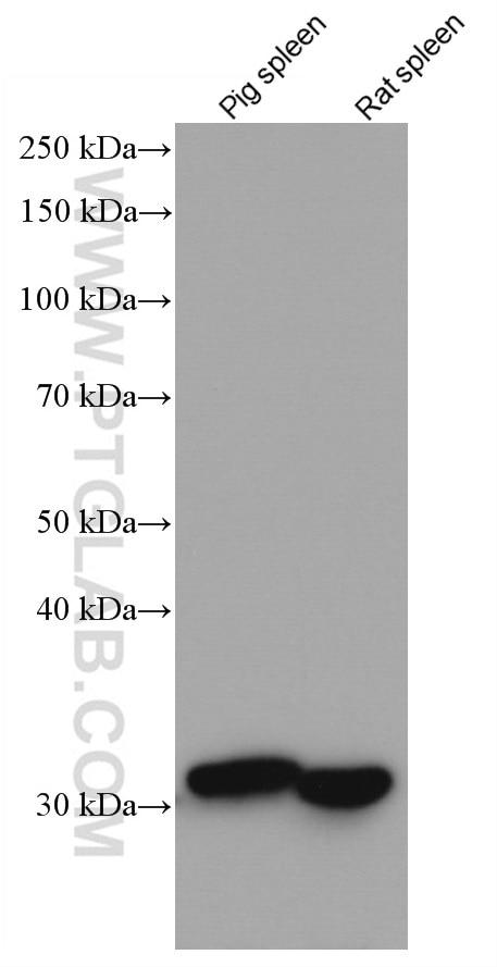 WB analysis using 66743-1-Ig