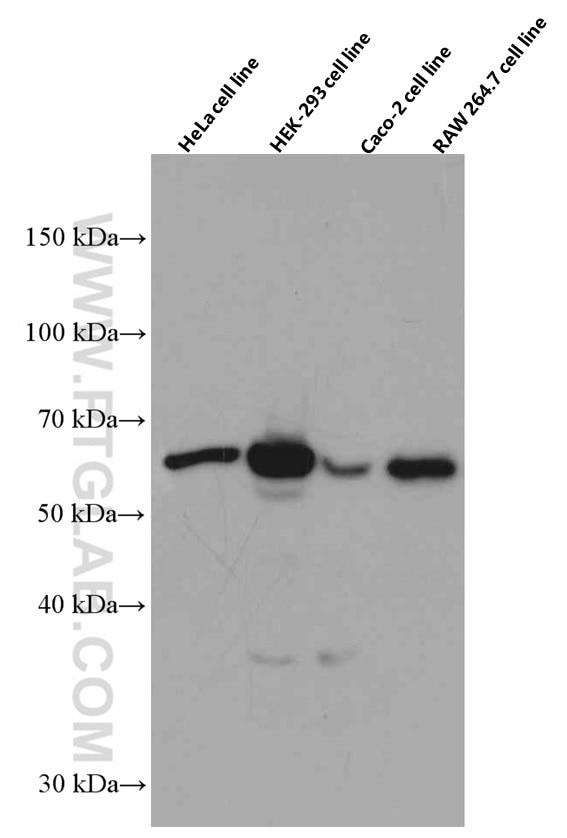 WB analysis using 66490-1-Ig