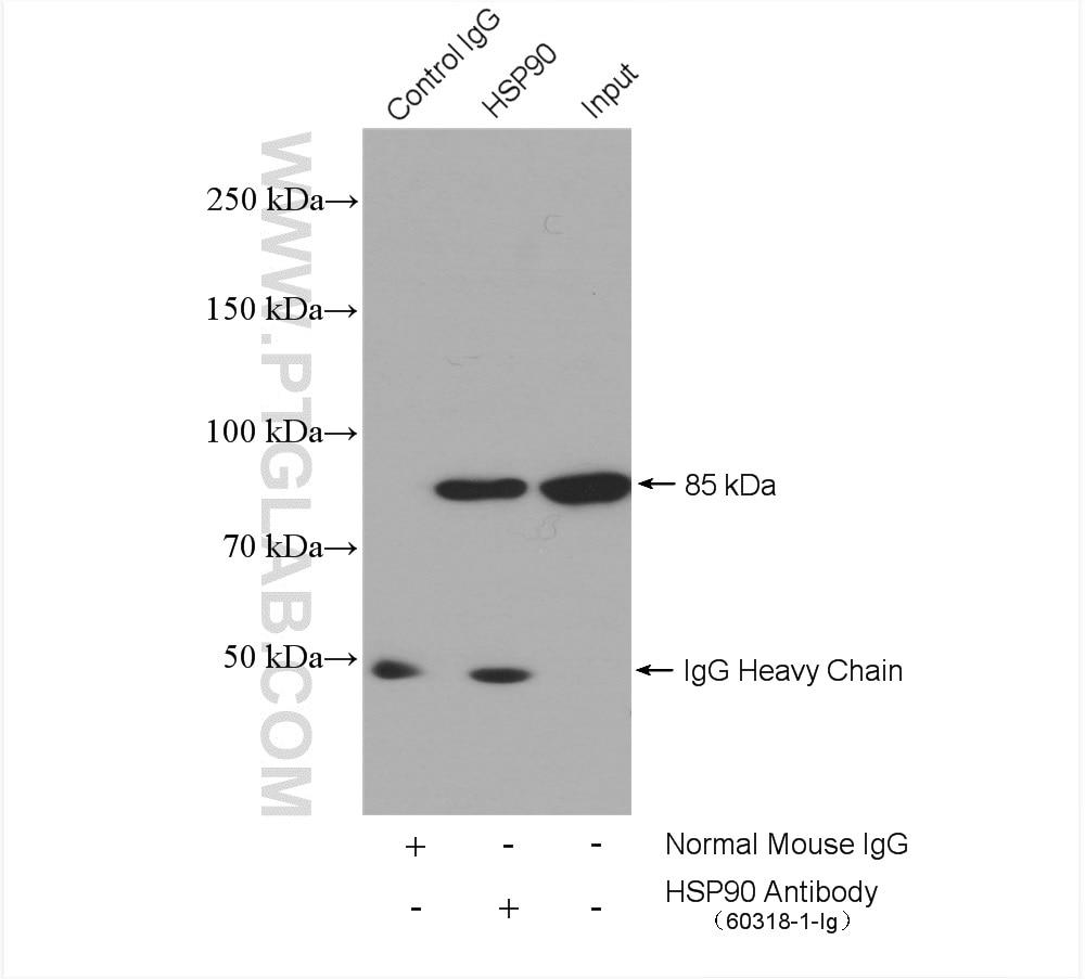 IP experiment of HepG2 using 60318-1-Ig