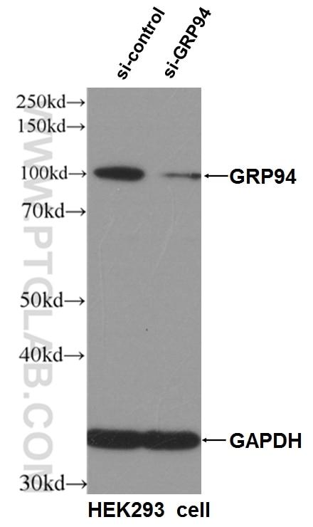 WB analysis of HEK-293 using 10979-1-AP