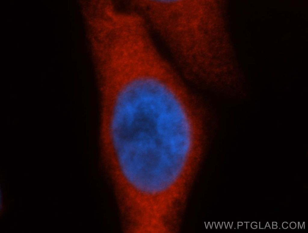 IF analysis of HepG2 cells, using HSPA1A antibody 10995-1-AP at 1:50 dilution and Rhodamine-labeled goat anti-rabbit IgG (red). Blue pseudocolor = DAPI (fluorescent DNA dye)