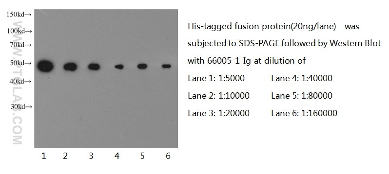 66005-1-Ig;recombinant protein protein