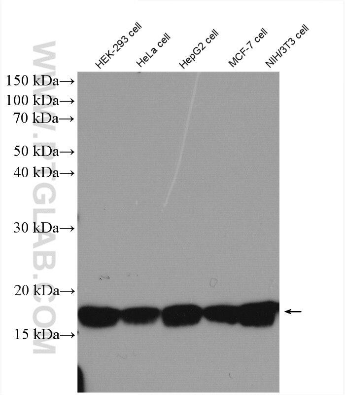 WB analysis of HEK-293 using 17168-1-AP