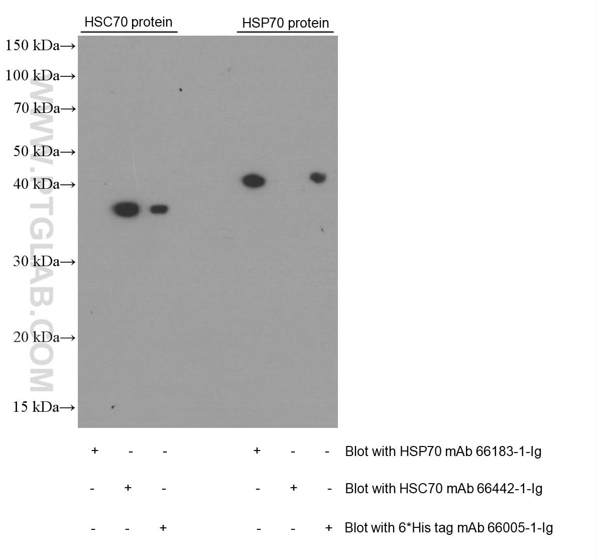WB analysis of Recombinant protein using 66442-1-Ig
