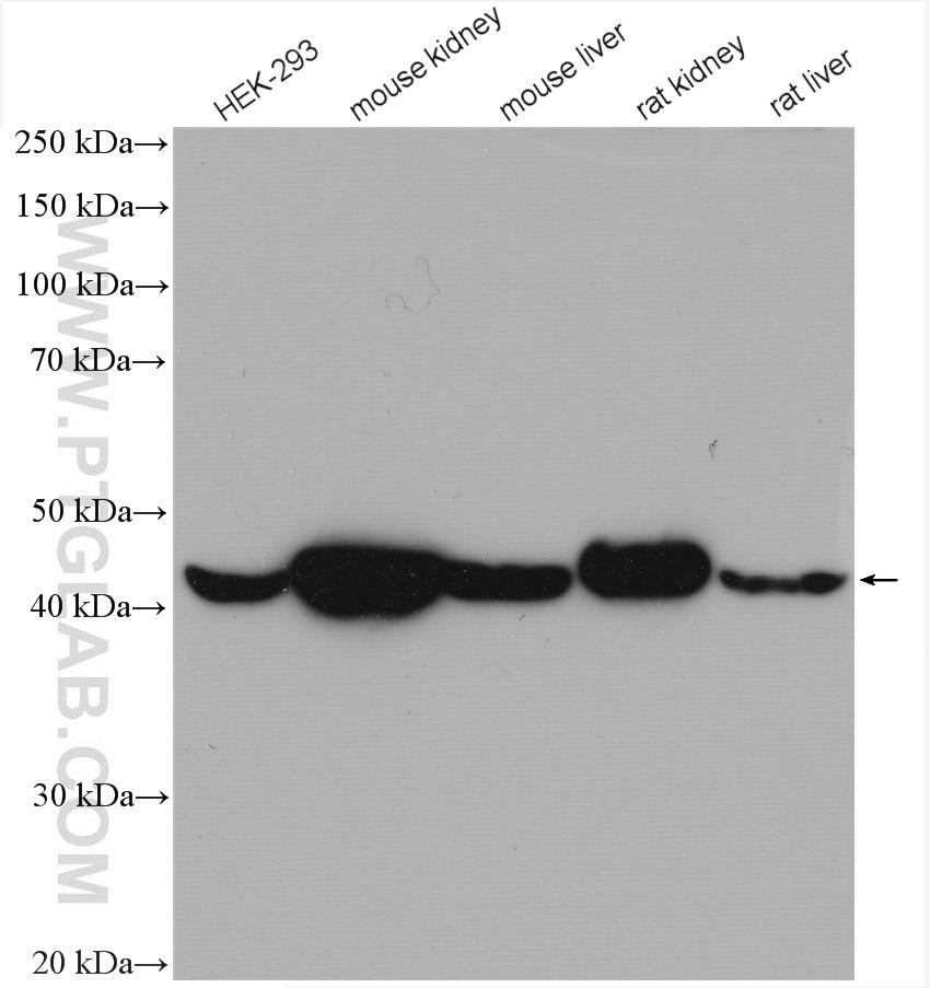 WB analysis using 23254-1-AP