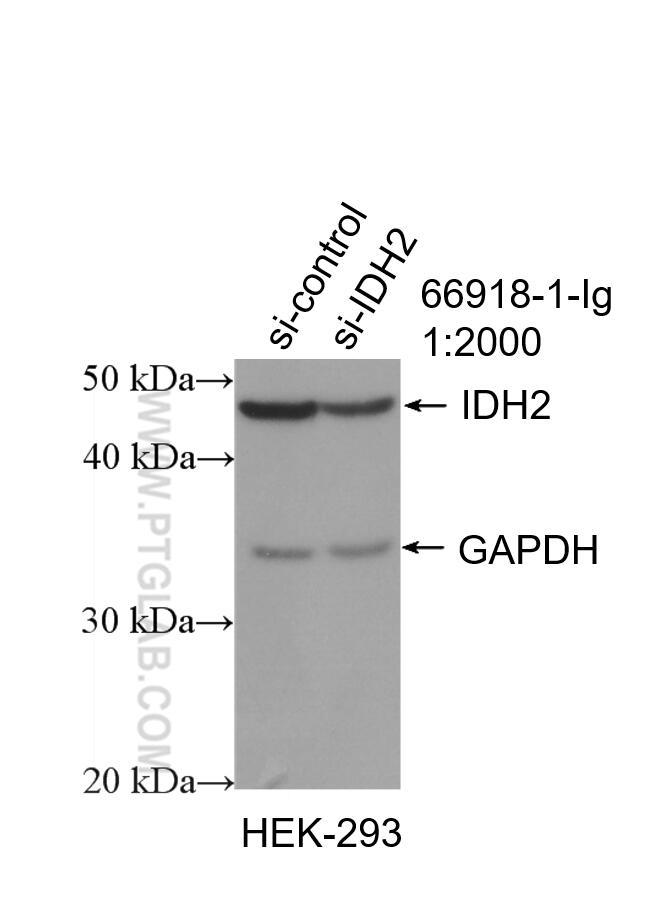 WB analysis of HEK-293 using 66918-1-Ig